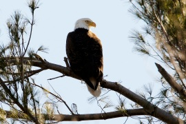 Bald eagles are one of the more than 1,000 bird species protected by the Migratory Bird Treaty Act [File: Brian Snyder/Reuters]