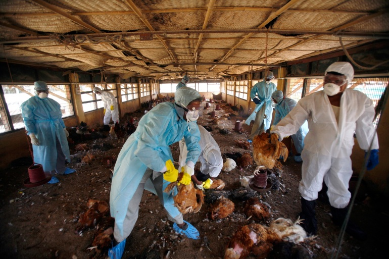H5N8, an Avian influenza subtype among poultry and wild birds, has spread across several countries since early last year [File: Reuters]