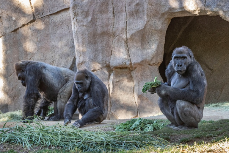 The gorillas infected at the San Diego safari park are western lowland gorillas, whose population has declined by more than 60 percent over the last 20 years because of poaching and disease [Ken Bohn/San Diego Zoo Global/Handout via Reuters]