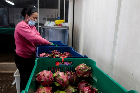 Gujarat government felt the dragon fruit's original name is associated with China [File: Oswaldo Rivas/Reuters]