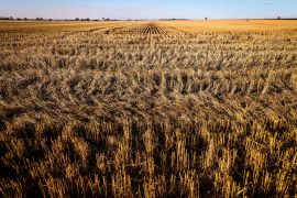 Among major cereals, wheat export prices dropped the most, declining 2.4 percent on the month, reflecting good supplies and encouraging production prospects for the 2021 crops, FAO said [File: David Gray/Bloomberg]