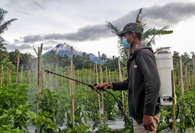 Seorang pria menyemprotkan insektisida ke tanamannya saat Gunung Merapi terlihat meletus di latar belakang.  Tidak ada evakuasi baru sejak pihak berwenang mengevakuasi hampir 2.000 orang pada November, kebanyakan dari mereka telah kembali.  [Foto Slamet Riyadi / AP]