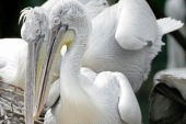 The sanctuary is a transit place for about 350 species of birds but only pelicans were found dead [FILE - Reuters]