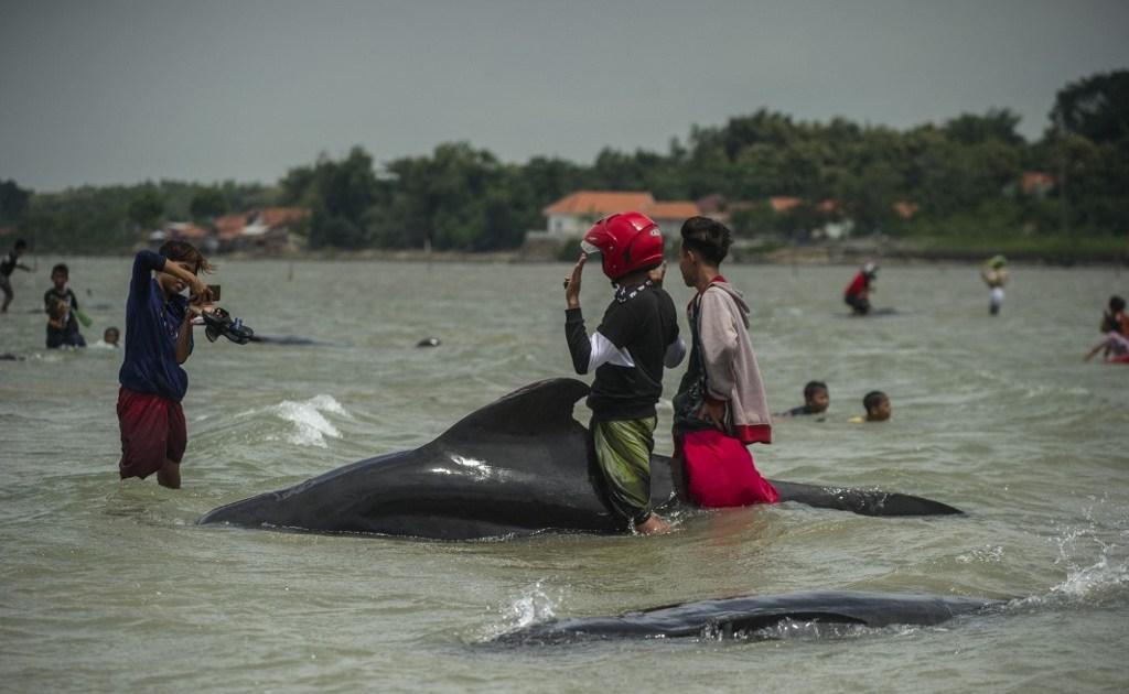 www.aljazeera.com: Dozens of pilot whales die in Indonesia's Madura Island