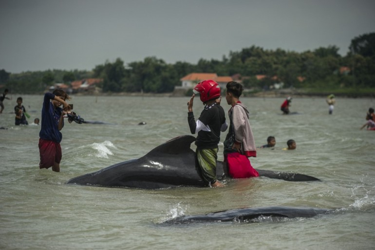 Images on Friday showed whales dotted across a wide area with local residents wading in ankle-deep water, some trying to splash water on them or push them out to sea, while others took photos while mounting the stranded animals [Juni Kriswanto/AFP]