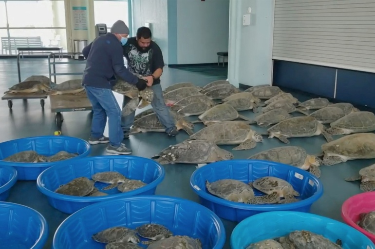 People place rescued turtles stunned by cold weather in an evacuation centre in South Padre Island, Texas [Ed Caum/City of South Padre Island Convention and Visitors Bureau]