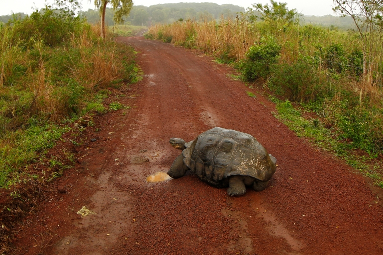 A giant tortoise is seen on a road at Santa Cruz island at Galapagos National Park August 23, 2013. [File: Jorge Silva/Reuters]