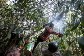 A family of Tompoun Indigenous bee hunters smokes out a beehive to harvest it in Ratanakiri province on March 15, 2021. (Roun Ry/Al Jazeera)
