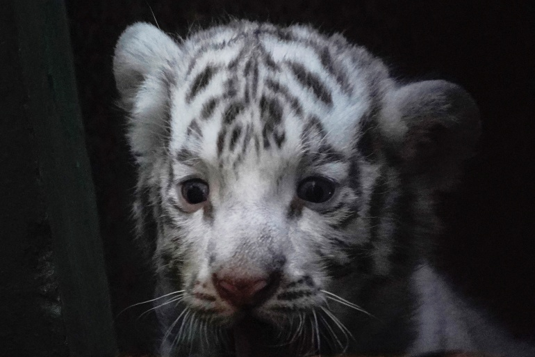 A white bengal tiger cub is seen inside a cage at the zoo in Havana, Cuba, April 14, 2021 [Alexandre Meneghini/Reuters]