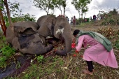 A woman prays next to the carcasses of elephants that according to the forest officials possibly died because of a lightning strike, in Assam, India [Anuwar Hazarika/Reuters]