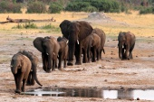 Zimbabwe's government maintains that the large number of elephants is leading to destruction of habitat needed by other species and an increasing number of dangerous human-elephant interactions [File: Philimon Bulawayo/Reuters]