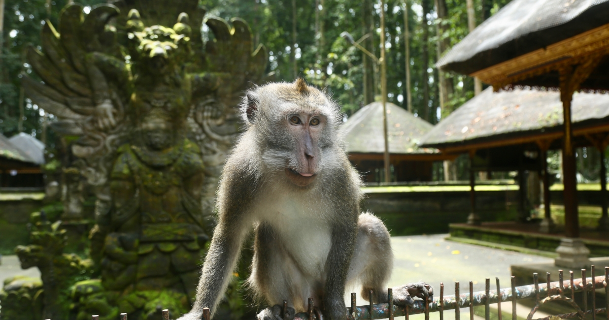 Is it time to rethink Bali's monkey forests?