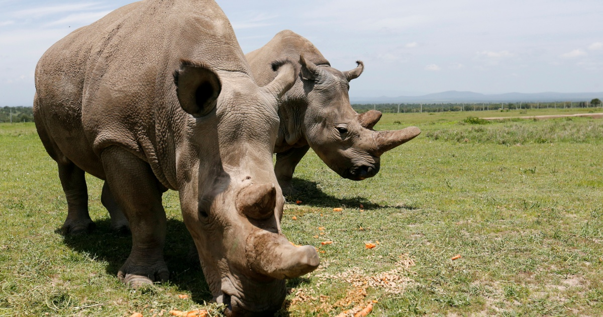 Watch Considered one of final 2 northern white rhinos dropped from breeding undertaking – Al Jazeera English News