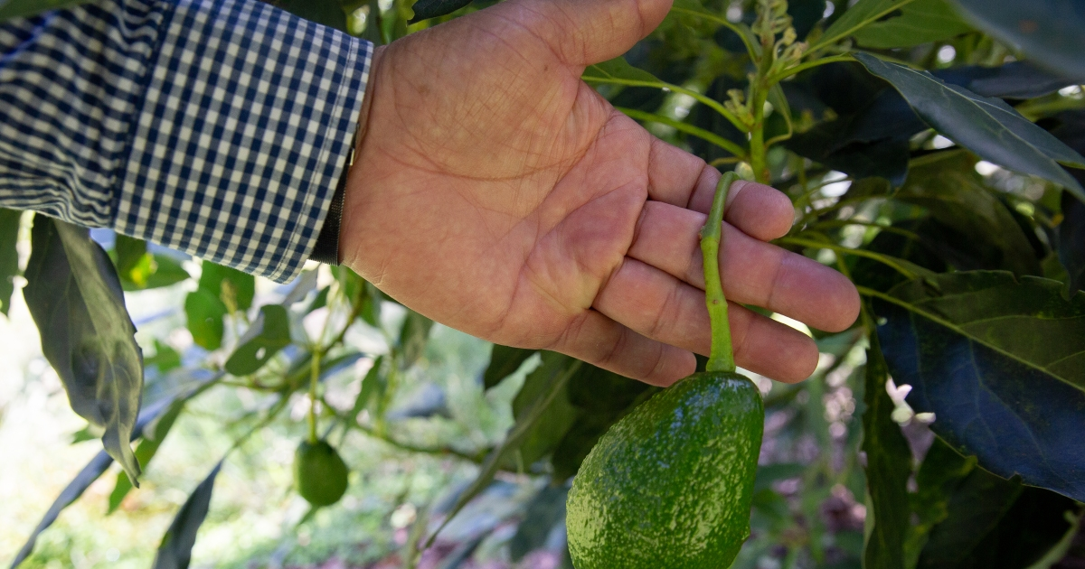 Colombia's avocado boom shows the hidden costs of 'green gold'